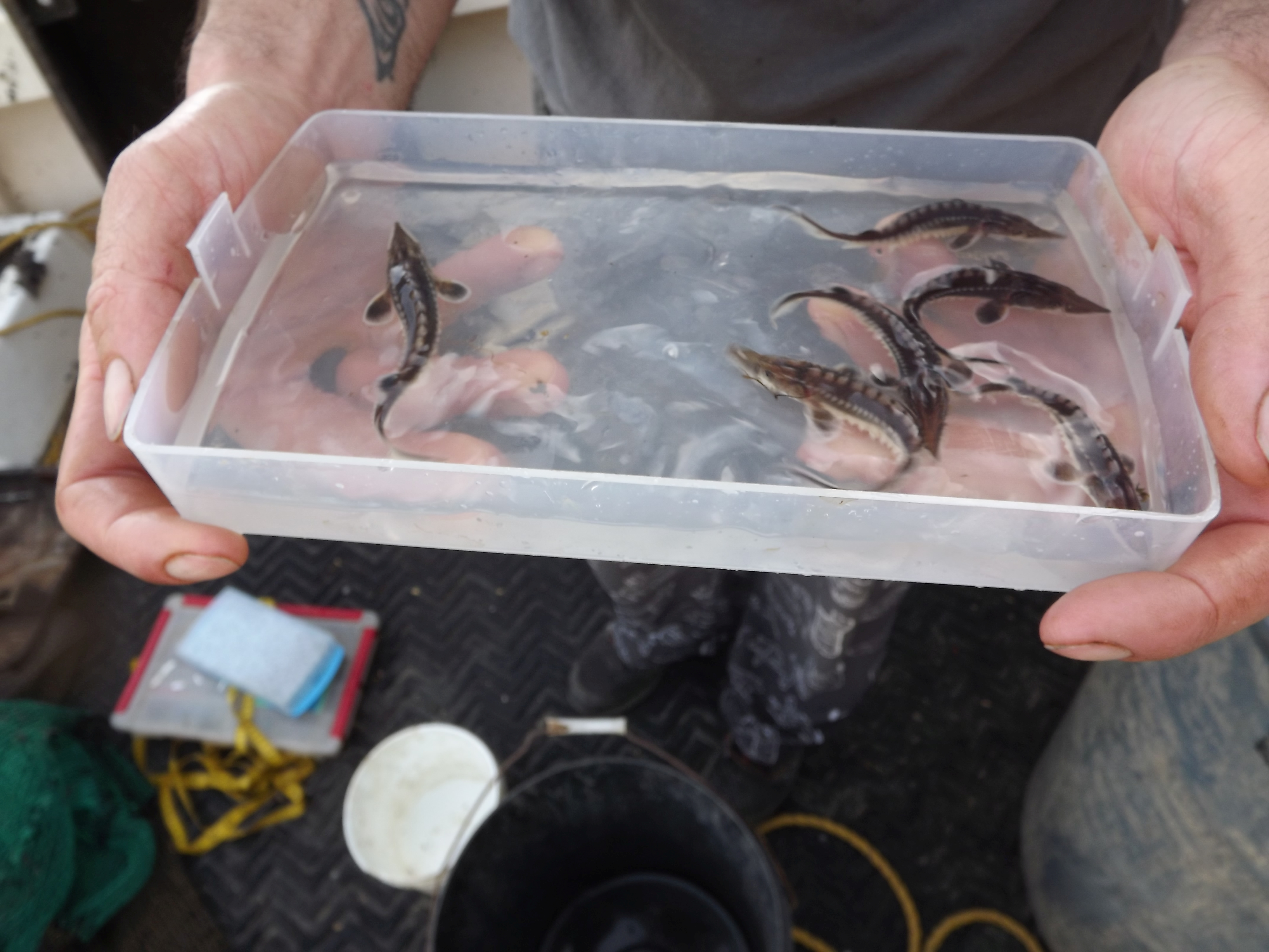 Baby sturgeon swimming in a container