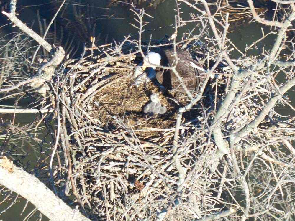 Despite the storms, some eaglets made it through safely and are seen in a nest with their parent