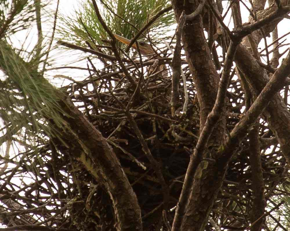 Female anhinga incubating on a nest in York County, Virginia