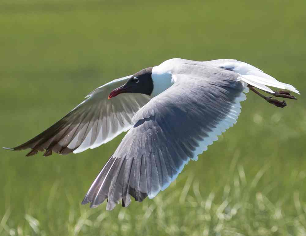 Laughing gull in flight over a marsh along the seaside of the Delmarva Peninsula