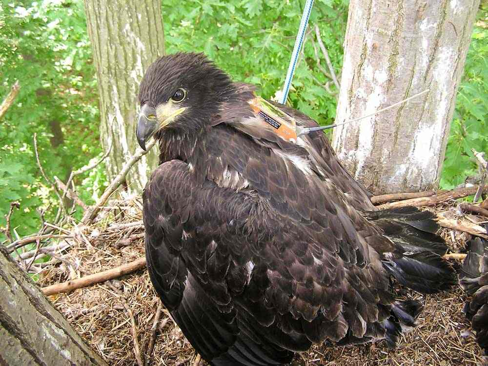 Nestling eagle fitted with satellite transmitter