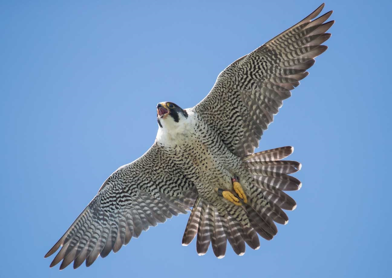 Peregrine flying in the air